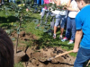 Sajenje drevesa